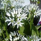Hortiflor Bureau - Ail Des Ours Allium Ursinum (lot de 3 pieds)