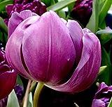 2Pcs Tulip Bulbs (Non Tulip Seeds) Lily Potted Couleurs Tulipes frais bulbeuses racine Bonsai Fleur cormes Planté jardin