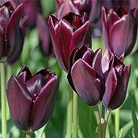 PLAT FIRM Semillas DE GERMINACION: Philippe De Comines Tulipã¡n Tardão 6 Bombillas