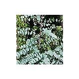 PLAT FIRM KEIM SEEDS: Blue Gum, Tasmanian Blue Gum - Eucalyptus globulus - 10 Samen