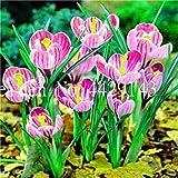 Vente 200 pièces Safran Fleur Végétaux, Safran Bulbes, Bonsai Fleur Iran Crocus pour Plantes en Pot Jardin Décoration Bonsai: 11...