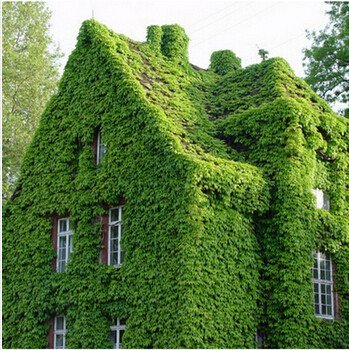 100 graines / Green Pack Boston Ivy Graines Maison et Jardin Plantes d'extérieur