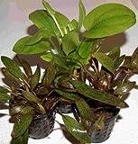 5 Töpfe Echinodorus, Echinodoren Mix, Aquarium