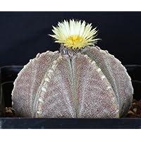 Astrophytum myriostigma strongylogonum seeds