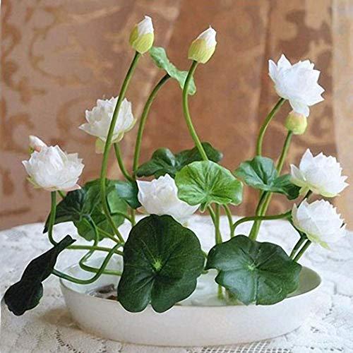 Inkeme Seed House - Mini Lotus Semillas flores Hidropónicas