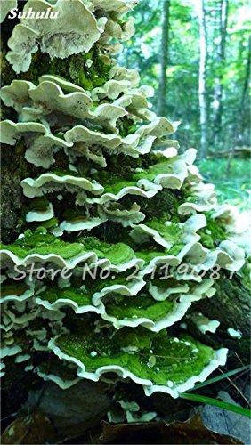 Nouveau 50 Pcs Ganoderma Graines Reishi Champignons Graines Graines de légumes biologiques pour jardin plantes non Ogm 8