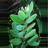 OMURA ORGANIC GUAVA GUAYABA FRESH LEAVES (50+ FRESH LEAVES)