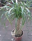 Beaucarnea recurvata - 10 Samen - Elefantenfuß, Wasserpalme, Flaschenbaum -