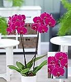 "BALDUR-Garten Phalaenopsis Orchidee, 2 Triebe,""Rosa"",1 Pflanze"
