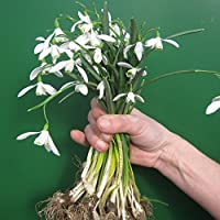 Snowdrops in The Green - Actively Growing - 50, 100, 250, 500 or 1000 Bulbs - Free P&P (100)