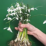Snowdrops in The Green - Actively Growing - 10, 25, 50, 100, 250, 500 or 1000 Bulbs - Free P&P