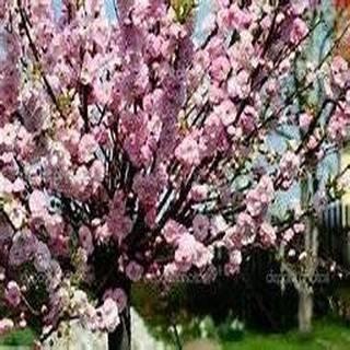 Pinkdose 10 Seeds Flowering Almond, Flowering Plum Tree (Prunus triloba)