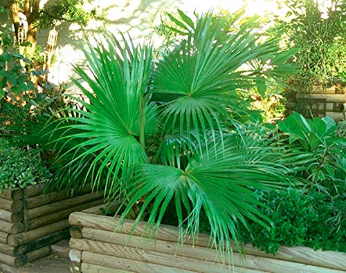 PlenTree 100 Seeds | Sabal Minor Dwarf Palmetto Palm Tree | Fresh Crop | Hardy To Zone 7