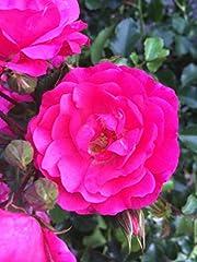 10x Bodendeckerrosen pink winterhart mehrjährig