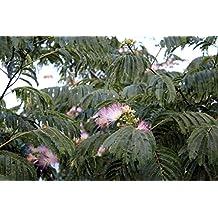 Seidenakazie - Albizia julibrissin Summer Chocolate - verschiedene Größen (30-40cm - 0,7Ltr.)