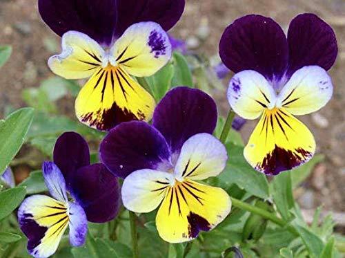 Portal Cool 50+ Viola Johnny Jump Up Blumensamen, Stiefmütterchen, Veilchen, Staude, duftend, Easy