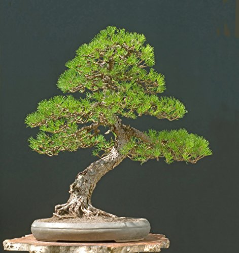 Seedeo Bonsai Anzuchtset Bergkiefer (Pinus mugo rostrata)