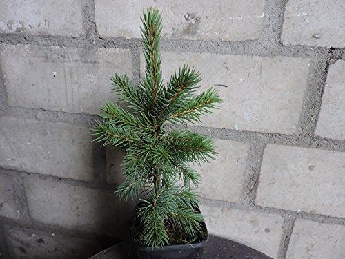 10 Stk. Blaufichte – Blautanne – (Picea pungens glauca)- Topfware 15-25 cm