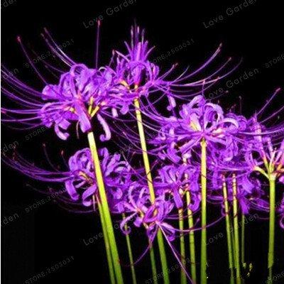 Pinkdose multi-color powder lycoris bulbi vero lycoris lampadina, la crescita naturale, bonsaïpianta giardino domestico di diy-2 lampadine: 10