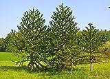 Chilenische Araukarie Schmucktanne/Affenschwanztanne -Robuste Jungpflanz- Winterhart , Rarität -Monkey Puzzle- #Araucaria araucana#