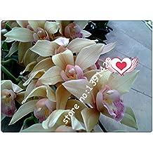 21 colores de las PC 100 semillas Cymbidium, semillas de orquídeas raras estaciones Bonsai, plantas en macetas, flores azules para el hogar y el jardín,