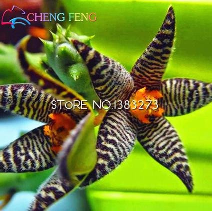 100pcs-stapelia-samen-lithops-mix-succulents-rohstein-kakteensamen-seltene-frische-bonsaipflanzen-fu