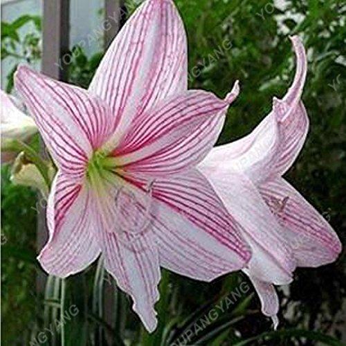 HOT Vente 200 PCS 25 couleurs Lily Graines Lis parfum bon marché Graines rares Couleur Flower Garden Usine de mélange différentes variétés d'orange