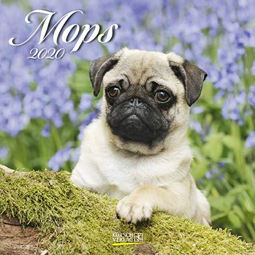 Mops 2020: Broschürenkalender mit Ferienterminen. Hunde-Kalender. 30 x 30 cm - Mops-fotos
