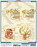 Image de Dental Anatomy: Reference Guide (Quick Study Academic)
