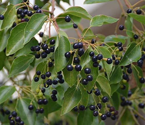 Semi organici: 1 Cinnamomum Ora !! canfora O !! grandi evergreen di Farmerly