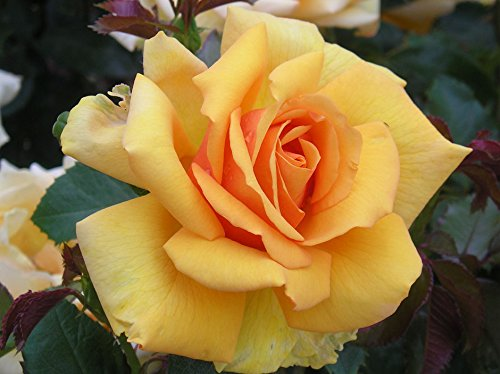 simply-the-best-4lt-potted-hybrid-tea-garden-rose-bush-orange-mandarin-blend-strong-fragrance