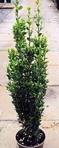 """Japanischer Säulenilex Fastigiata """"Ilex crenata Fastigiata"""" Containerpflanzen 100-120 cm"""
