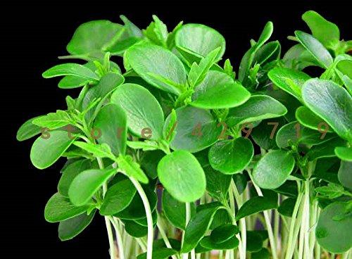 SVI '200 semences de la salade du Berro Berro semences de légume commun/Llano Nutrition non OGM plantes du jardin de DIY
