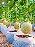 Vistaric 100 UNIDS Bonsai Semillas de Cantalupo Salud Semillas de Frutas Orgánicas Melón Melón Dulces Semillas de Melón Dulce Semillas de Bricolaje Planta de Jardín de Su Casa