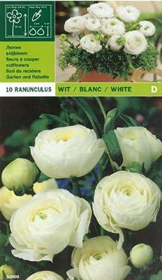 Ranunkeln - Ranunculus asiaticus weiß von MOSSELMAN auf Du und dein Garten