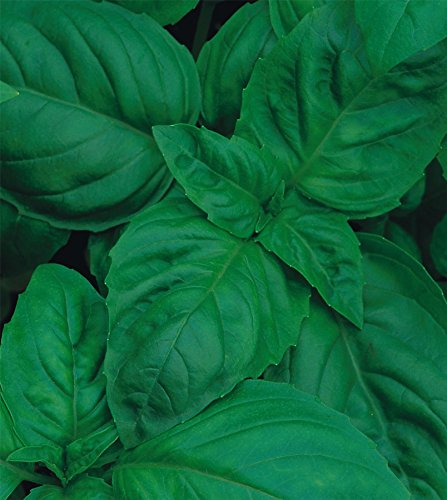 just-seed-organic-herb-basil-classic-italian-300-seeds-economy-packet