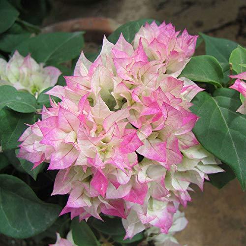 Shoopy Star 100 Pcs framboise: Tous les fruits Qualità des semences semences jardin Balcon Bonsai Plantes d'arbres