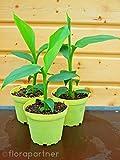 Winterharte Banane Pflanze Musa basjoo 4stk.