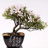 Bonsai–Jap. sats Uki azalee 'Hi de no de Maru', Rododendros Indicum 183/62