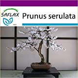 SAFLAX - Big Garden - Bonsai - Japanische Blütenkirsche - 30 Samen - Prunus serulata