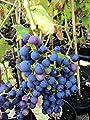 3 x veredelte Weinreben - Weintrauben - Tafeltrauben Ihrer Wahl - Angebot - 80 - 100 cm von Baumschule Anding - Du und dein Garten