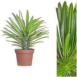 Inter Flower -Madagaskarpalme 60-70cm +/- Pachypodium lamerei Zimmerpflanze, Topfpflanze