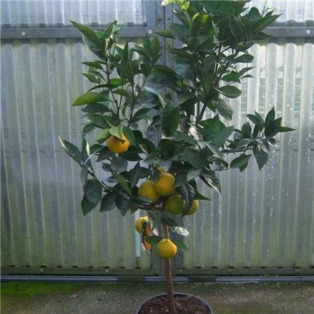 cross-common-nursery-citrus-orange-tree-120cm-standard