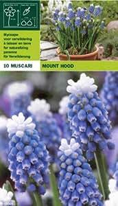 "Traubenhyazinthe - Muscari "" Mount Hood "" (10)"