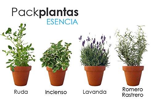 PACK AROMÁTICAS ESENCIA: 1 RUDA, 1 INCIENSO, 1 LAVANDA, 1 ROMERO RASTRERO. ¡¡¡ PLANTAS...