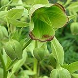 Blumixx Stauden Helleborus foetidus - Palmblatt-Schneerose hellgrün