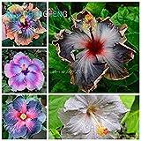 Fash Lady Schwarz: Auf 200pcs Hibiskus samen 24kts Hibiscus ROSA-SINENSIS Blumensamen Hibiskus Baum Samen für Blumen Topfpflanzen Schwarz
