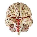 Homyl Modelo Plástico de Cerebro Gráficas Carteles para Educación Científica