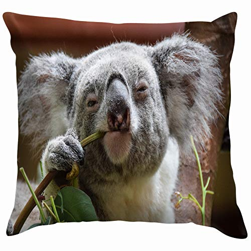 beautiful& Koala Looking Into Camera While Eating Animals Wildlife Cotton Throw Pillow Case Cushion Cover Home Office Decorative, Square 18X18 Inch (Halloween Melbourne Shop)