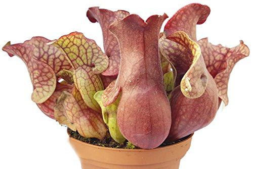 *Sarracenia Purpurea Venosa rote XL Schlauchpflanze – aufregende und besondere fleischfressende Pflanze*